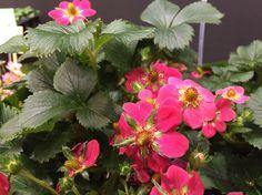 Wo jetzt schon Obstbäume blühen und Rosen duften - Alljährlich trifft sich die Gartenwelt in Essen in Deutschland: Die IPM – die internationale Pflanzenmesse öffnet die Pforten und die Branche präsentiert hier ihre Neuheiten: http://www.nachrichten.at/freizeit/haus_garten/Wo-jetzt-schon-Obstbaeume-bluehen-und-Rosen-duften;art123,1638064 (Bild: Ploberger)