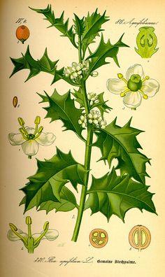 Holly, Ilex aquifolium, illustration from Flora von Deutschland, Österreich und der Schweiz, 1885. Germany