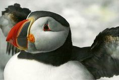 Puffin Photograph, 4 x 6 Bird Photography, Childs Room Decor, Bird Decor, Puffins, Machias Seal Island, Maine, Nature Photography on Etsy, $12.00