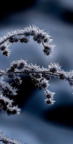 Frost crystals on a weed, winter 2016 at Dan Creek in Wrangell St. Elias National Park, Alaska.  │  frost, winter, winter frost, frost crystals, nature, alaska, alaska wilderness, wrangell st elias national park, winter scene, alasks prints, alaska posters, fred denner