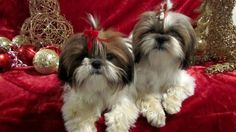 10 Mindblowing Facts About Shih Tzus You Probably Didn't Know