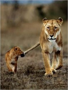 """Lioness to Her Cub: """"Remember what I told you Son; DO NOT let go of my tail."""""""