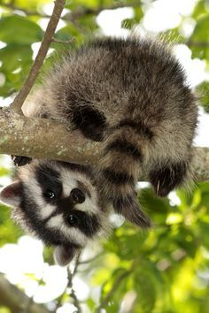 Young raccoon~~ well, hello down there☺