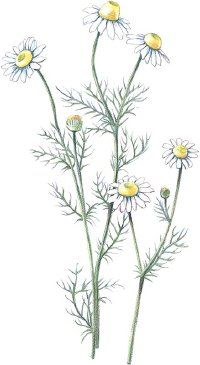 Chamomile tea has long been used to treat tummy troubles. According to the TLC website, there are other medicinal purposes as well.