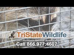 Don't Try Raccoon Removal Without Safety Gear. Click here http://www.tristatewildlife.com