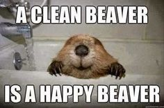 A Clean beaver is.... - Jokemash