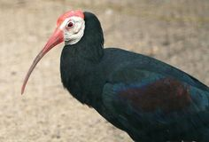 Southern bald ibis,Geronticus calvus