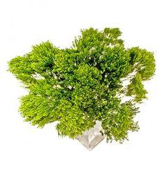 Зелень - Трахелиум
