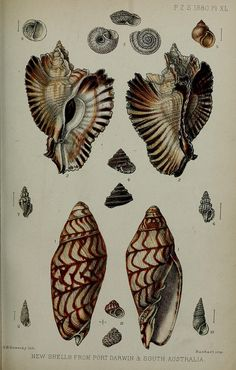 Murex and Volutidae, n526_w1150 conchological illustrations