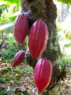 Arbol cargado de Cacao en una hacienda Cacaotera de Venezuela