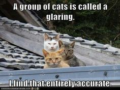 A glaring of cats.