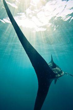 Love this angle of a Thresher shark Shark Week, Orcas, Thresher Shark, Fauna Marina, Underwater Life, Underwater Photos, Ocean Creatures, Deep Sea, Deep Blue