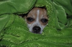 cuddle bum Heart Melting, Cuddle, Chihuahua, Pitbulls, Babies, Dogs, Animals, Animales, Babys