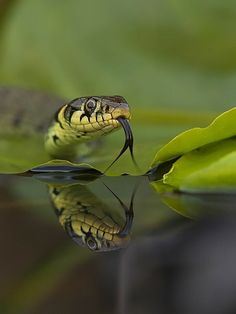 Grass snake | UFOREA.org | The trip you want. The help they need.