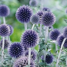 Echinops ritro Veitchs Blue - 1 plant buy online order now