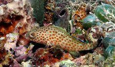 Découvrez les beautés sous-marines de l'île de St.Kitts / Discover the Underwater Beauties of the island of St-Kitts!