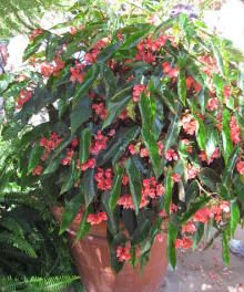 Begonia - These are undemanding indoors plants. Ginger's mom used to have one when Ginger was young, so she's always liked these.
