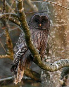Brown Ural owl #Raptor #BirdsofPrey #BirdofPrey #Bird of Prey #LIFECommunity