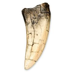 Take a look at this awesome tooth available for sale right here at Dinosaurfossil4u for $9.00  http://www.dinosaurfossils4u.com/tyrannosaurus-rex-tooth/  #Trex #Dinosaur #Tooth #Fossil