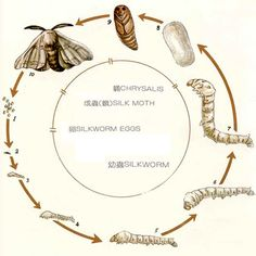 another silkworm lifecycle