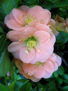 ✯ Dwarf Flowering Quince (Chaenomeles speciosa) 'Cameo'