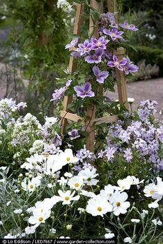 (Front Patio ~ Add an obelisk on either corner of bed with a small vintage rose creeper ) Clematis growing up a wooden obelisk and underplanted with campanula and cosmos