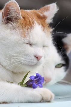 cybergata: Shironeko, Meditation on Purple Flower Cool Cats, I Love Cats, Crazy Cats, Sleepy Cat, Kinds Of Cats, Pretty Cats, Beautiful Cats, Here Kitty Kitty, Pet Birds