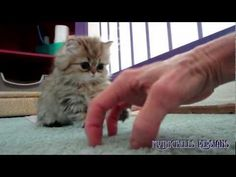 Shaded Silver Persian Kittens Having Fun at Daphne's Dolls Cattery - Persian Kittens for Sale - YouTube