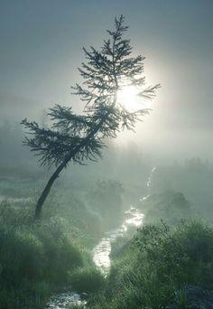Misty Pine.
