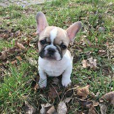 French Bulldog Puppy …