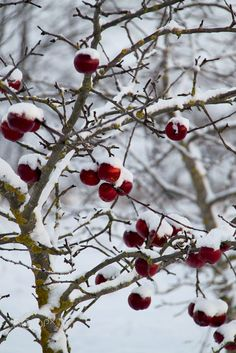ideas apple tree photography snow for 2019 Small Christmas Trees, Red Christmas, Christmas Tree Decorations, Holiday, I Love Winter, Winter Wonder, Tree Branch Tattoo, Black And White Tree, Snow White
