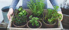 Gekaufte Kräuter bleiben meist gerade einmal so lange frisch, bis sie im Topf landen. Warum starten Sie also nicht Ihren eigenen Indoor-Kräutergarten?