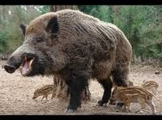 70 Best Boar images in 2018 | Wild boar, Pigs, Animal pictures
