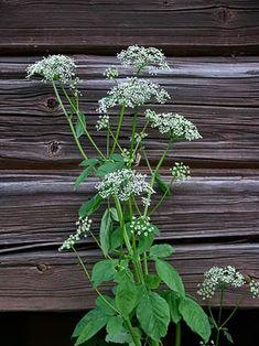 Ground Elder, Aegopodium podagraria - Flowers - NatureGate Home Remedies, Natural Remedies, Wild Edibles, Healing Herbs, Gras, Botany, Shrubs, Finland, Flower Power