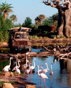 Kilimanjaro Safaris Expedition, provides the chance to see African animals as they roam the 100-acre savanna in Disney's Animal Kingdom theme park.