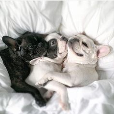 What's the best part about being @3frenchiesinapod - cuddle time!!!!
