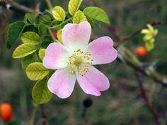 Rosa mosqueta, el secreto de la jueventud #Rosamosqueta #belleza #tips #belleza #cosméticanatural