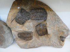 Fossileplate from the Northern Sahara € Fossils