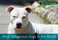 Let's explore some of the world's most dangerous dogs, what makes us consider certain dog breeds to be dangerous, and role and history of dog training in building these reputations.