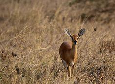 Steinböckchen (Raphicerus campestris) - Steenbok