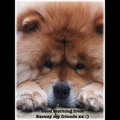 Cute Puppies, Dogs And Puppies, Dog Training Treats, Chow Chow Dogs, Forever, Westies, Adorable Animals, Dog Stuff, Animals And Pets