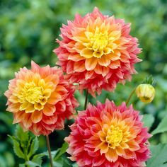 Glorious Enjoy Life With Your Own Flower Garden Beautiful Easy Ideas. Enjoy Life With Your Own Flower Garden Beautiful Easy Ideas. Short Plants, Large Plants, Potted Plants, Peony Root, Growing Dahlias, Bulb Flowers, Dahlia Flowers, Paper Dahlia, Gladioli