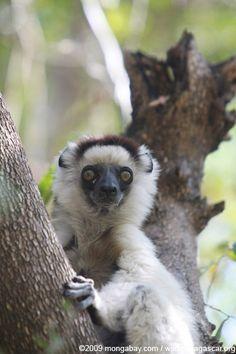Lemur gallery