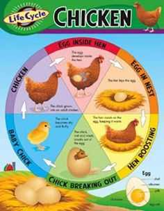 Chart showing the life cycle of a chicken from before the egg laying to the chick hatching and their growth cycle. Amazon poster image.