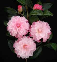 Buttons and Bows Camellia Japonica