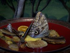 eyespot butterflies eating tray of fruit