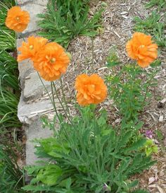 Spanish Poppy Tangerine Dream - Perennial - 100 seeds