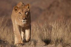 A beautiful still captured during the filming of Vanishing Kings (2015). Visit #Namibia on our Desert Dune Safari for a chance to see these amazing lions!  http://bit.ly/1FnzQNQ @wildernesssaf