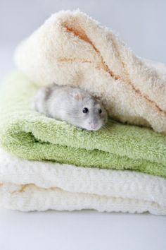 Hamster On Towels Stock Photo 74449967
