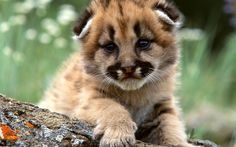 Mountain Lion Cubs Wallpaper Baby Animals Animals Wallpapers) – Wallpapers For Desktop The Animals, Cute Baby Animals, Funny Animals, Wild Animals, Animal Babies, Cutest Animals, Big Cats, Cats And Kittens, Baby Cheetahs